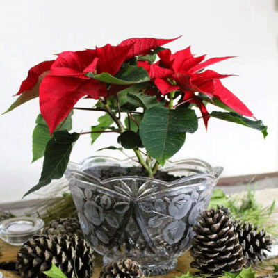 My Poinsettia Bouquet and Rustic Christmas Table Centerpiece