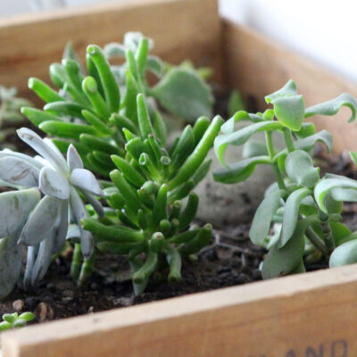 Gorgeous and Simple DIY Vintage Crate Succulent Garden