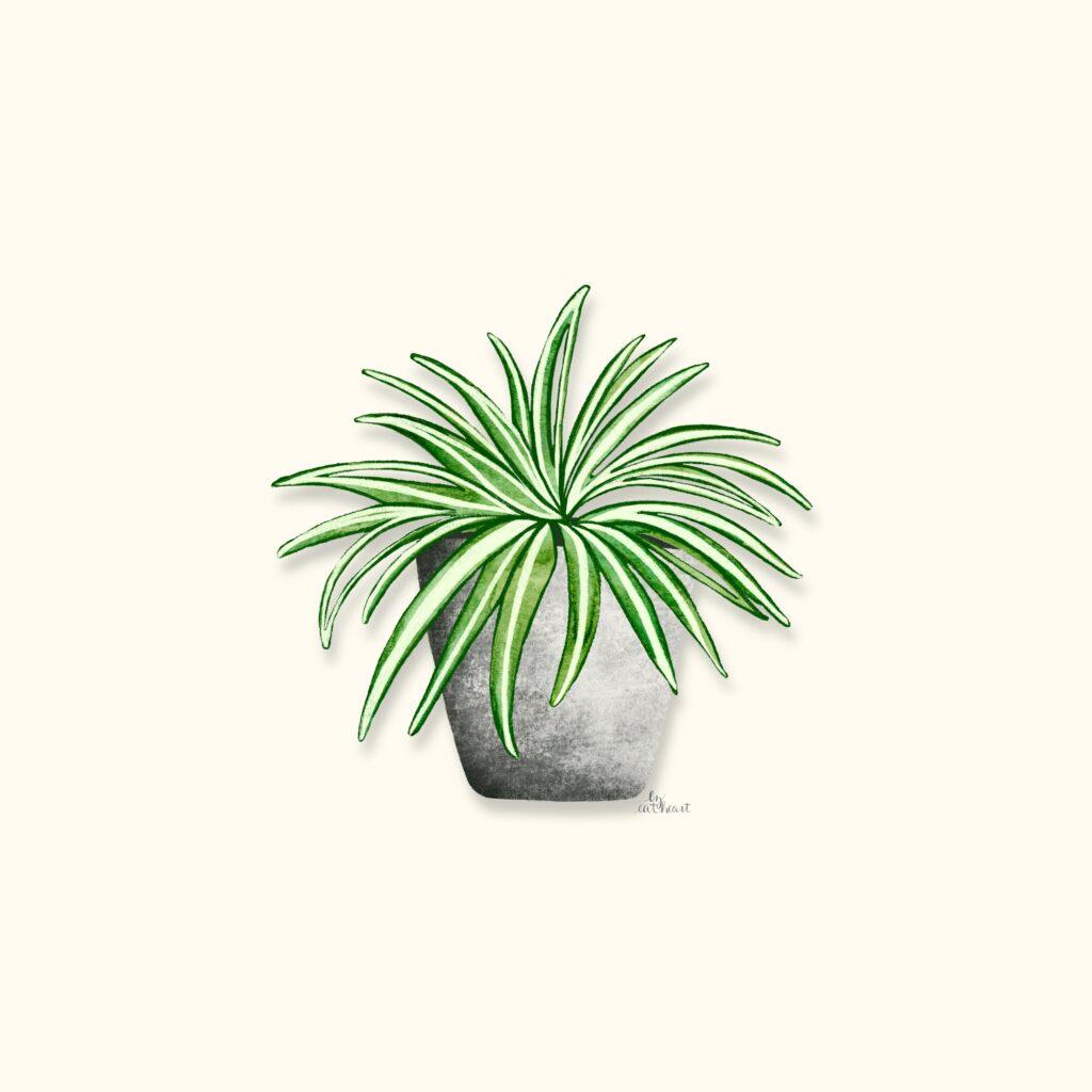 spider plant illustration